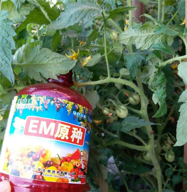 有机小番茄种植